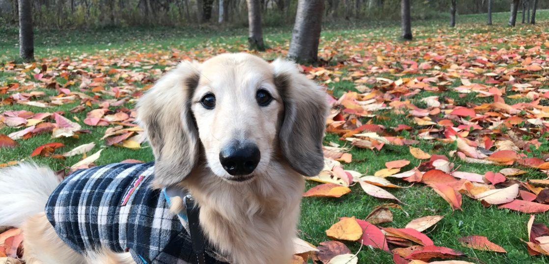 犬のメラノーマ,口腔内メラノーマ