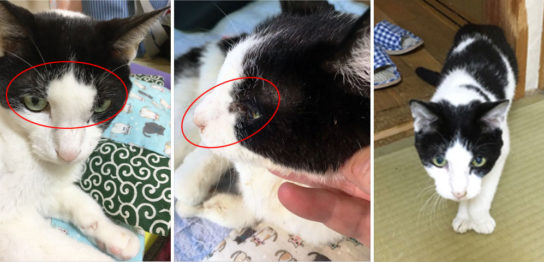 猫の眉間部腫瘤 浸潤性腺癌(脳腫瘍)にコルディを与えた症例
