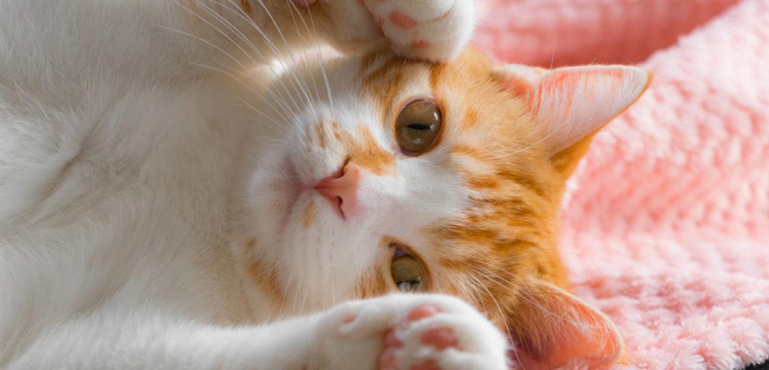 猫の末期乳腺腫瘍が改善した症例