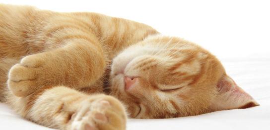 猫の肝腫瘍(肝臓がん)をコルディとプラセンタで維持している例
