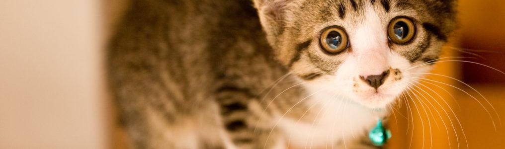 猫のFIPやFeLVがコルディを服用し改善した症例