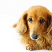 犬の癌克服-癌の種類、原因、症状、治療、改善・完治のヒント