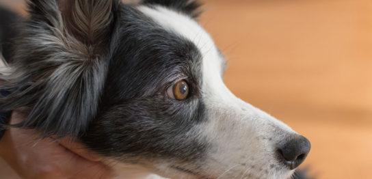 犬のがん(肛門周囲腺腫)改善例