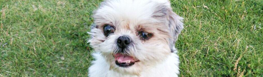 犬の肺に転移した甲状腺がんの改善方法