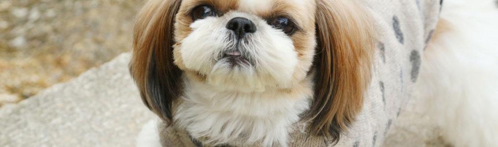 犬(シーズー)の肛門周囲腺腫改善例