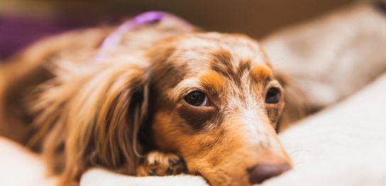犬のリンパ腫改善例