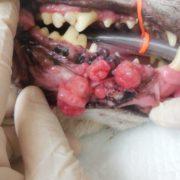 犬の口腔内メラノーマを抗癌剤治療せず長期コントロールしている症例