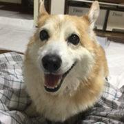 余命2ヶ月犬の口腔内メラノーマを抗癌剤とコルディでコントロール