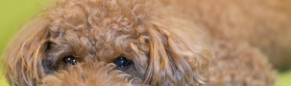 犬のメラノーマ改善例