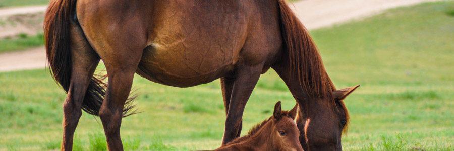 馬へのコルディ使用例
