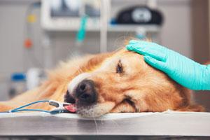 抗癌剤治療中の犬
