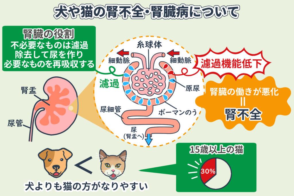 犬や猫の腎不全・腎臓病について